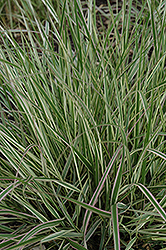 Variegated Reed Grass (Calamagrostis x acutiflora 'Overdam') at Maidstone Tree Farm