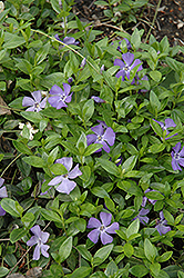 Common Periwinkle (Vinca minor) at Maidstone Tree Farm