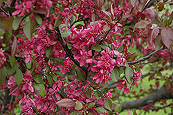 Profusion Flowering Crab (Malus 'Profusion') at Maidstone Tree Farm