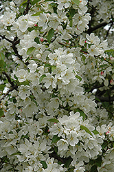 Donald Wyman Flowering Crab (Malus 'Donald Wyman') at Maidstone Tree Farm