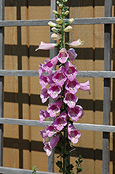 Common Foxglove (Digitalis purpurea) at Maidstone Tree Farm