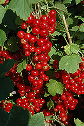 Red Lake Red Currant (Ribes sativum 'Red Lake') at Maidstone Tree Farm