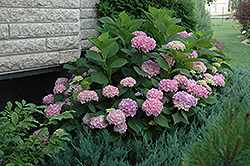 Endless Summer® Hydrangea (Hydrangea macrophylla 'Endless Summer') at Maidstone Tree Farm