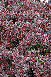 Cherry Bomb Japanese Barberry (Berberis thunbergii 'Monomb') at Maidstone Tree Farm