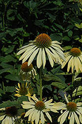 Big Sky Sunrise Coneflower (Echinacea 'Big Sky Sunrise') at Maidstone Tree Farm