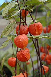 Chinese Lantern (Physalis franchetii) at Maidstone Tree Farm