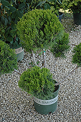 Mint Julep Juniper (pom pom) (Juniperus chinensis 'Mint Julep (pom pom)') at Maidstone Tree Farm