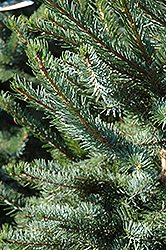 Bruns Spruce (Picea omorika 'Bruns') at Maidstone Tree Farm