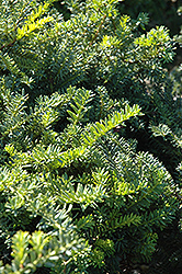Emerald Spreader Yew (Taxus cuspidata 'Emerald Spreader') at Maidstone Tree Farm