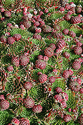 Red Hens And Chicks (Sempervivum 'Red') at Maidstone Tree Farm