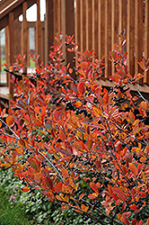 Autumn Magic Black Chokeberry (Aronia melanocarpa 'Autumn Magic') at Maidstone Tree Farm