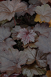 Blackout Coral Bells (Heuchera 'Blackout') at Maidstone Tree Farm