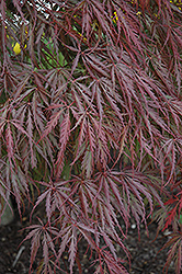 Tamukeyama Japanese Maple (Acer palmatum 'Tamukeyama') at Maidstone Tree Farm