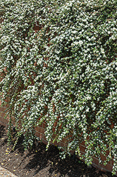 Coral Beauty Cotoneaster (Cotoneaster dammeri 'Coral Beauty') at Maidstone Tree Farm