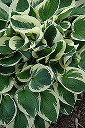 Patriot Hosta (Hosta 'Patriot') at Maidstone Tree Farm