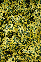 Emerald 'n' Gold Wintercreeper (Euonymus fortunei 'Emerald 'n' Gold') at Maidstone Tree Farm