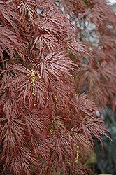 Inaba Shidare Cutleaf Japanese Maple (Acer palmatum 'Inaba Shidare') at Maidstone Tree Farm