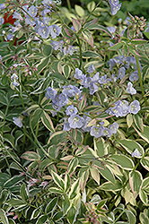 Touch Of Class Jacob's Ladder (Polemonium reptans 'Touch Of Class') at Maidstone Tree Farm