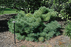 Glauca Nana Eastern White Pine (Pinus strobus 'Glauca Nana') at Maidstone Tree Farm