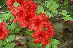 Girard's Hot Shot Azalea (Rhododendron 'Girard's Hot Shot') at Maidstone Tree Farm