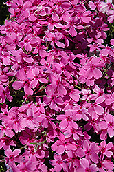 Red Wings Moss Phlox (Phlox subulata 'Red Wings') at Maidstone Tree Farm