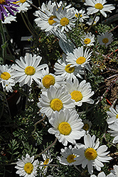 Snow Carpet Marguerite Daisy (Anthemis 'Snow Carpet') at Maidstone Tree Farm