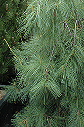 Weeping White Pine (Pinus strobus 'Pendula') at Maidstone Tree Farm