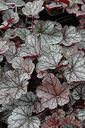 Silver Scrolls Coral Bells (Heuchera 'Silver Scrolls') at Maidstone Tree Farm