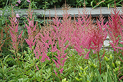 Visions in Pink Chinese Astilbe (Astilbe chinensis 'Visions in Pink') at Maidstone Tree Farm