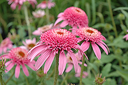 Cone-fections™ Pink Double Delight Coneflower (Echinacea purpurea 'Pink Double Delight') at Maidstone Tree Farm