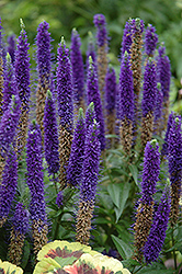 Royal Candles Speedwell (Veronica spicata 'Royal Candles') at Maidstone Tree Farm