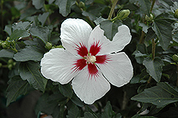 Lil' Kim® Rose of Sharon (Hibiscus syriacus 'Antong Two') at Maidstone Tree Farm