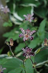 Empress Toad Lily (Tricyrtis 'Empress') at Maidstone Tree Farm