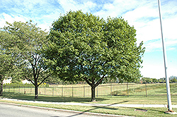Norway Maple (Acer platanoides) at Maidstone Tree Farm