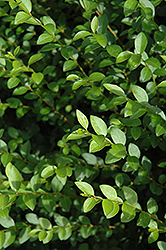 Amur Privet (Ligustrum amurense) at Maidstone Tree Farm