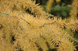 Tamarack (Larix laricina) at Maidstone Tree Farm