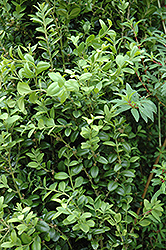 Graham Blandy Boxwood (Buxus sempervirens 'Graham Blandy') at Maidstone Tree Farm