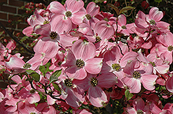 Cherokee Brave Flowering Dogwood (Cornus florida 'Cherokee Brave') at Maidstone Tree Farm
