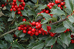Berri-Magic Meserve Holly (Ilex x meserveae 'Berri-Magic') at Maidstone Tree Farm
