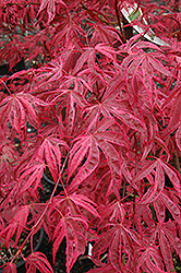 Shirazz Japanese Maple (Acer palmatum 'Gwen's Rose Delight') at Maidstone Tree Farm