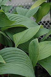 T-Rex Hosta (Hosta 'T-Rex') at Maidstone Tree Farm