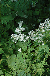Meadow Rue (Thalictrum filamentosum) at Maidstone Tree Farm