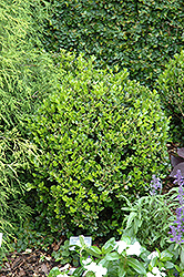 Winter Gem Boxwood (Buxus microphylla 'Winter Gem') at Maidstone Tree Farm