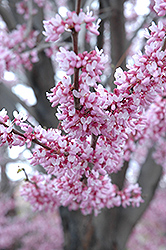Eastern Redbud (Cercis canadensis) at Maidstone Tree Farm