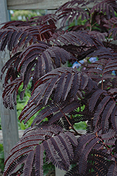 Summer Chocolate Mimosa (Albizia julibrissin 'Summer Chocolate') at Maidstone Tree Farm