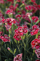 Cranberry Ice Pinks (Dianthus 'Cranberry Ice') at Maidstone Tree Farm