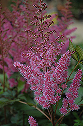 Maggie Daley Astilbe (Astilbe chinensis 'Maggie Daley') at Maidstone Tree Farm