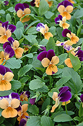 Sorbet Orange Duel Pansy (Viola 'Sorbet Orange Duet') at Maidstone Tree Farm