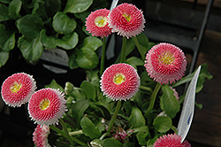 Bellisima Pink English Daisy (Bellis perennis 'Bellissima Pink') at Maidstone Tree Farm