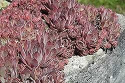 Purdy's Big Red Hens And Chicks (Sempervivum 'Purdy's Big Red') at Maidstone Tree Farm